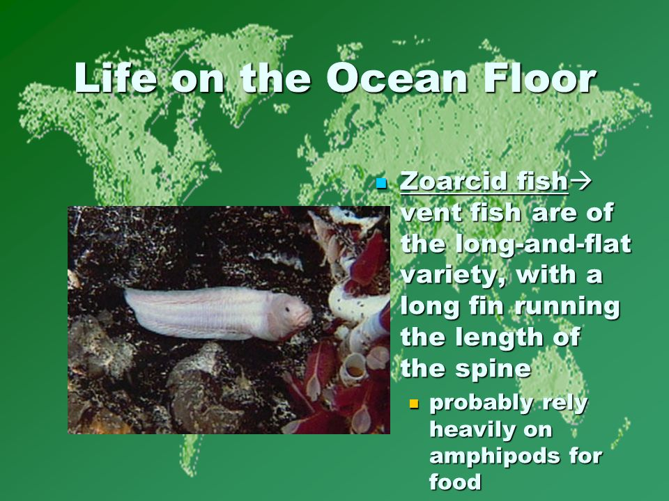 Life on the Ocean Floor Zoarcid fish  vent fish are of the long-and-flat variety, with a long fin running the length of the spine Zoarcid fish  vent fish are of the long-and-flat variety, with a long fin running the length of the spine probably rely heavily on amphipods for food
