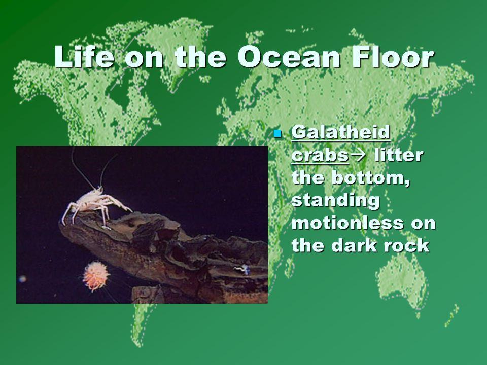 Life on the Ocean Floor Galatheid crabs  litter the bottom, standing motionless on the dark rock Galatheid crabs  litter the bottom, standing motionless on the dark rock