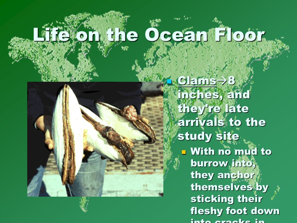 Life on the Ocean Floor Clams  8 inches, and they re late arrivals to the study site Clams  8 inches, and they re late arrivals to the study site With no mud to burrow into, they anchor themselves by sticking their fleshy foot down into cracks in the cold lava.