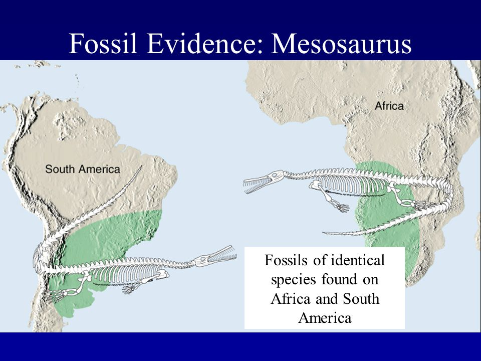 Fossil Evidence: Mesosaurus Fossils of identical species found on Africa and South America