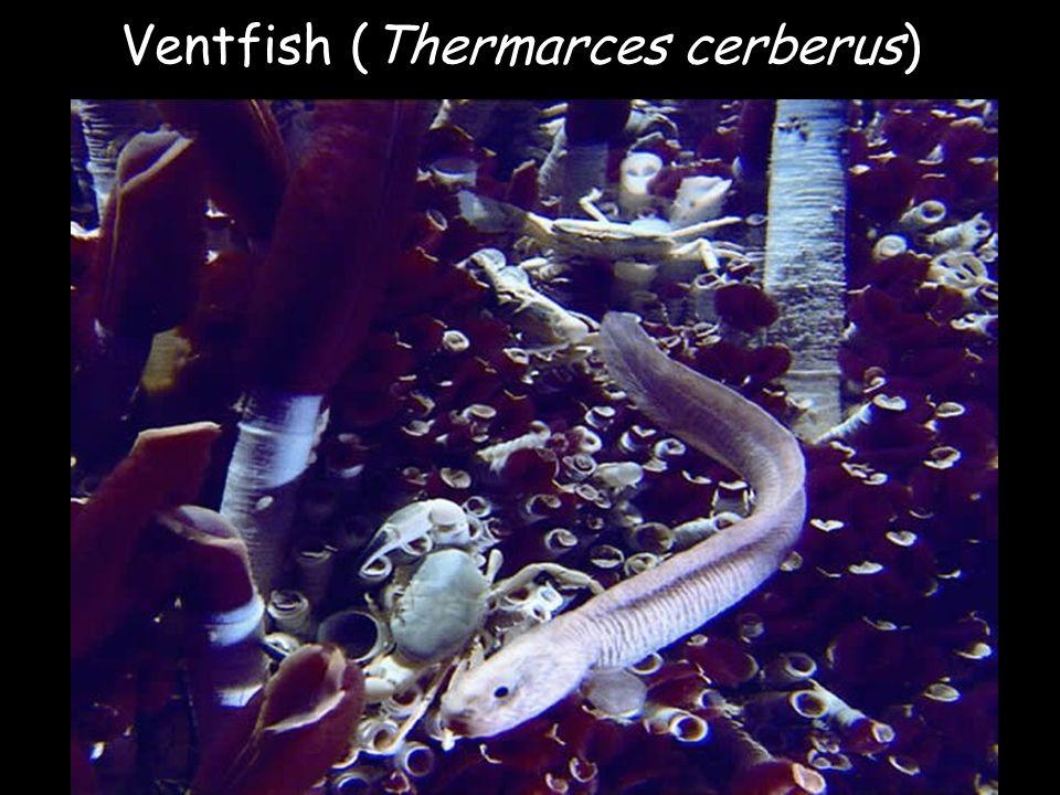 Ventfish (Thermarces cerberus)