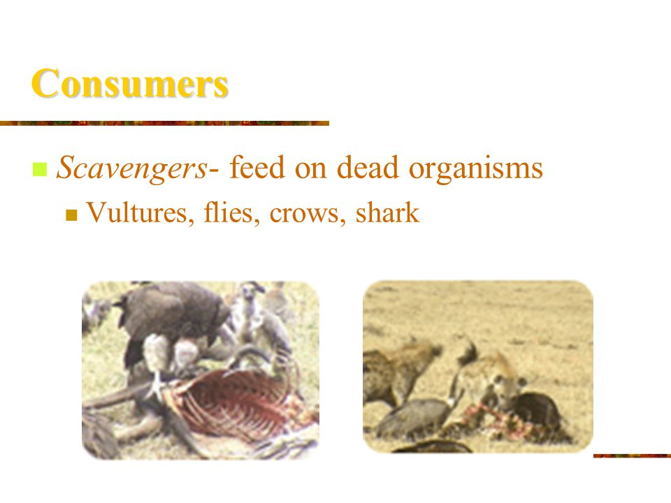 Consumers Omnivores- consumers that eat both plants and animals Ex: pigs, humans, bears