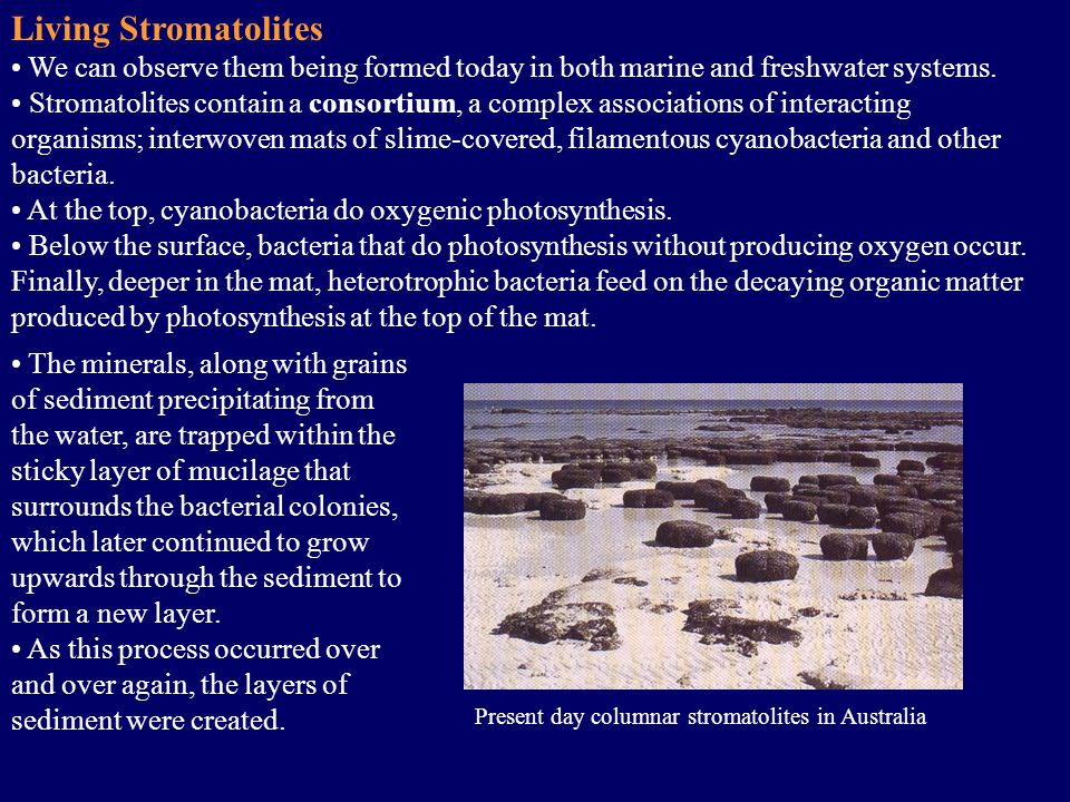 Present day columnar stromatolites in Australia Living Stromatolites We can observe them being formed today in both marine and freshwater systems.