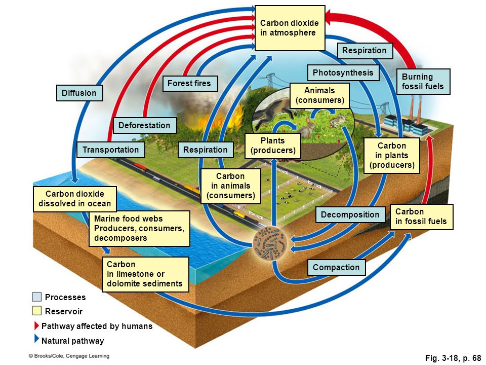 Fig. 3-18, p. 68 Pathway affected by humans Diffusion Transportation Deforestation Respiration Decomposition Forest fires Compaction Burning fossil fu