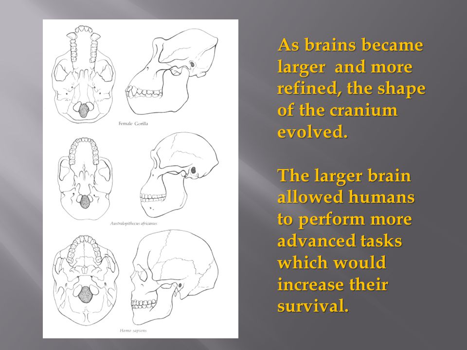 As brains became larger and more refined, the shape of the cranium evolved. The larger brain allowed humans to perform more advanced tasks which would