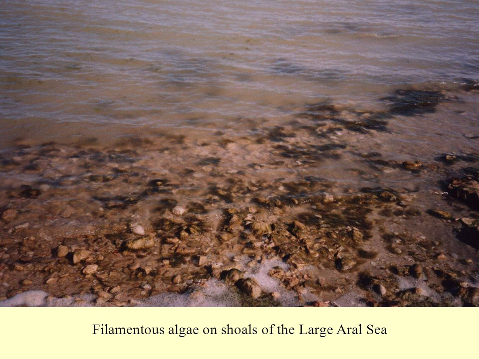 Filamentous algae on shoals of the Large Aral Sea