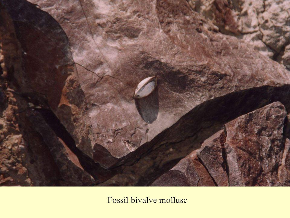 Fossil bivalve mollusc