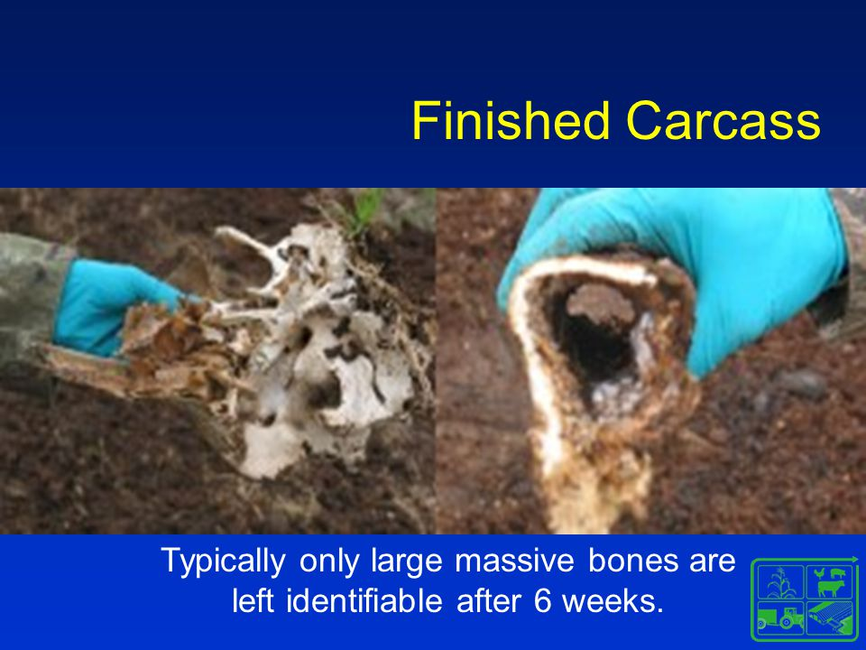 Finished Carcass Typically only large massive bones are left identifiable after 6 weeks.
