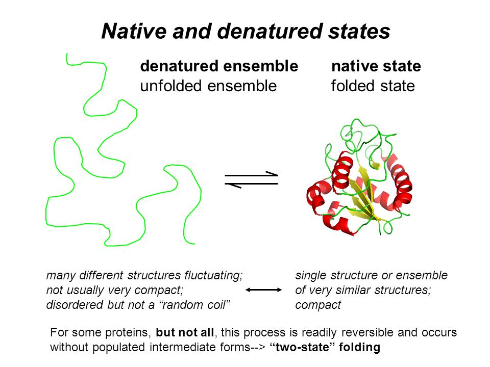 Native and denatured states native state folded state denatured ensemble unfolded ensemble single structure or ensemble of very similar structures; compact many different structures fluctuating; not usually very compact; disordered but not a random coil For some proteins, but not all, this process is readily reversible and occurs without populated intermediate forms--> two-state folding