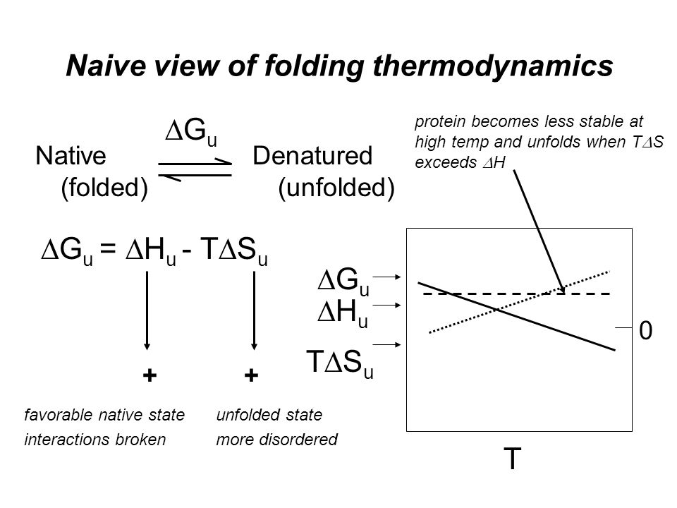 Naive view of folding thermodynamics Native (folded) Denatured (unfolded) GuGu  G u =  H u - T  S u ++ unfolded state more disordered favorable native state interactions broken GuGu T HuHu TSuTSu protein becomes less stable at high temp and unfolds when T  S exceeds  H 0