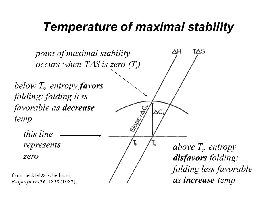 Temperature of maximal stability this line represents zero point of maximal stability occurs when T  S is zero (T s ) below T s, entropy favors folding: folding less favorable as decrease temp above T s, entropy disfavors folding: folding less favorable as increase temp from Becktel & Schellman, Biopolymers 26, 1859 (1987).