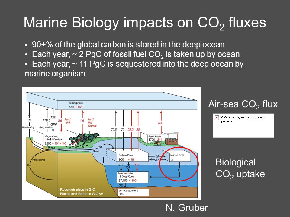 Marine Biology impacts on CO 2 fluxes 90+% of the global carbon is stored in the deep ocean Each year, ~ 2 PgC of fossil fuel CO 2 is taken up by ocean Each year, ~ 11 PgC is sequestered into the deep ocean by marine organism Biological CO 2 uptake N.