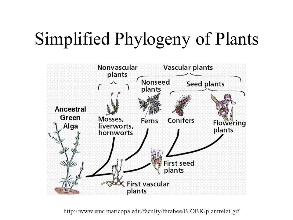 Simplified Phylogeny of Plants http://www.emc.maricopa.edu/faculty/farabee/BIOBK/plantrelat.gif