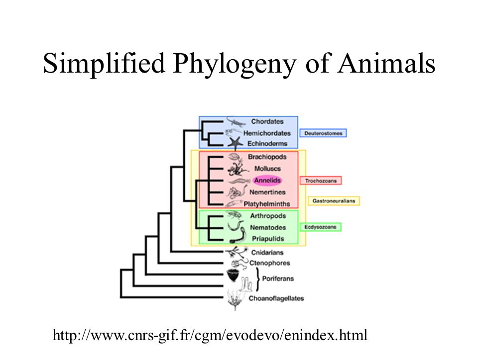 Simplified Phylogeny of Animals http://www.cnrs-gif.fr/cgm/evodevo/enindex.html