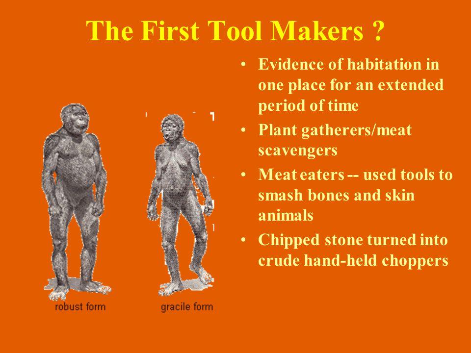 chimpanzee Australopithecus africanus modern human robust australopithecine modern human