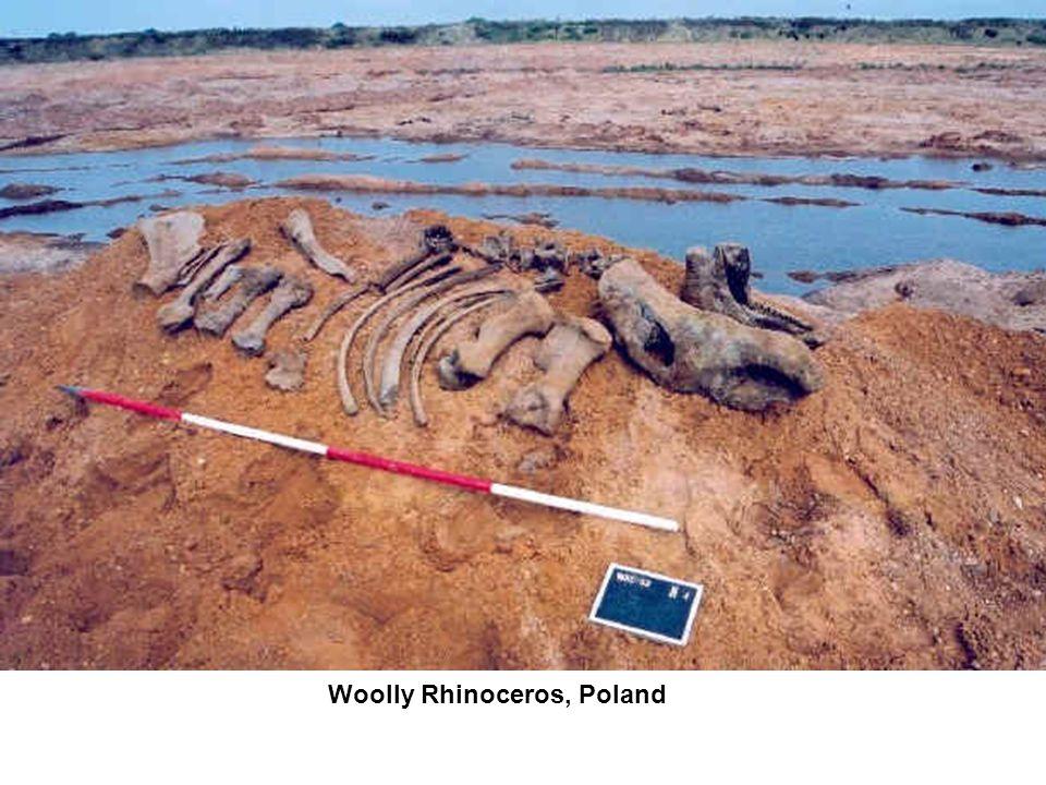 Woolly Rhinoceros, Poland