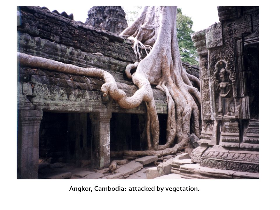 Angkor, Cambodia: attacked by vegetation.