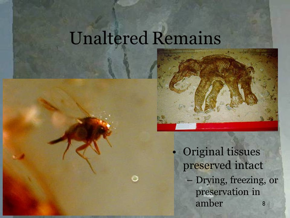 Fossilization8 Unaltered Remains Original tissues preserved intact –Drying, freezing, or preservation in amber