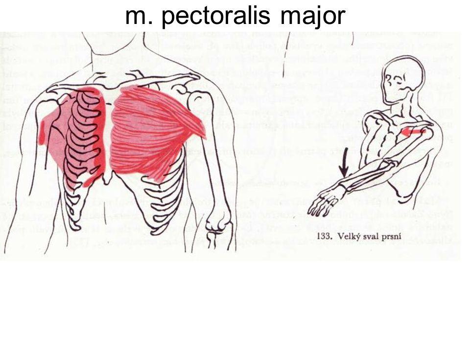 m. pectoralis major