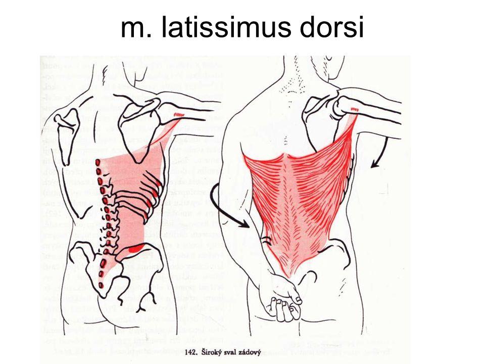 m. latissimus dorsi