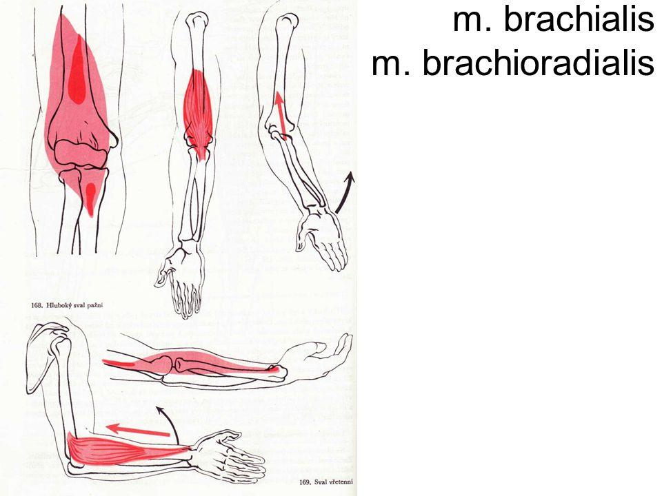 m. brachialis m. brachioradialis