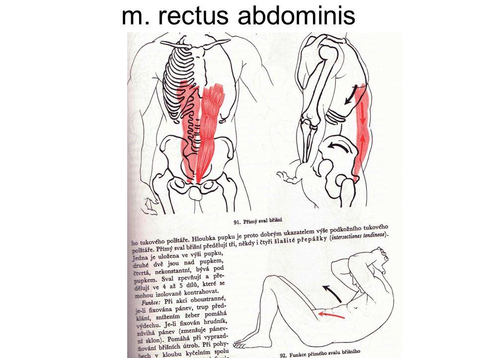 m. rectus abdominis