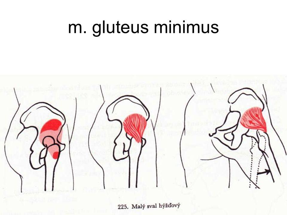 m. gluteus minimus