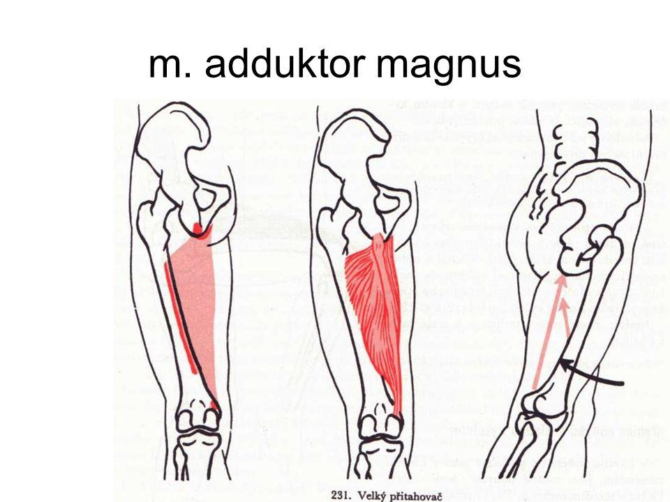 m. adduktor magnus