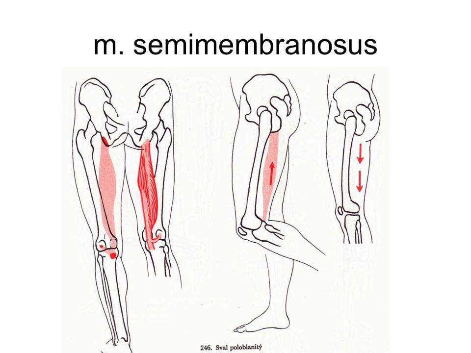 m. semimembranosus
