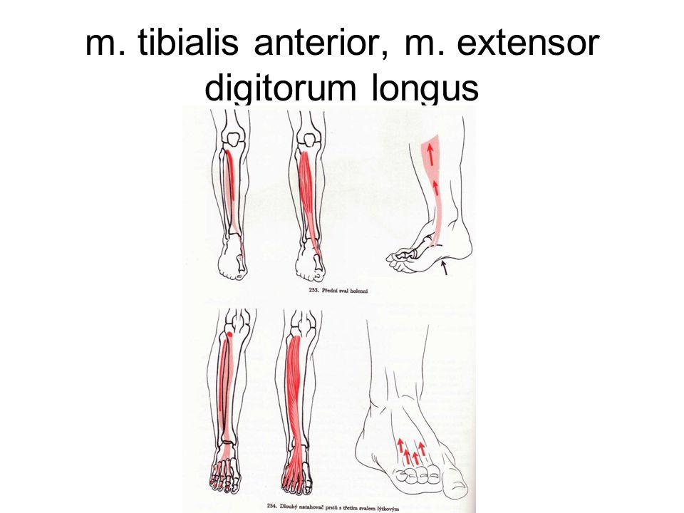m. tibialis anterior, m. extensor digitorum longus