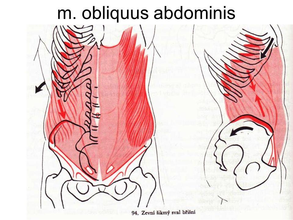 m. obliquus abdominis
