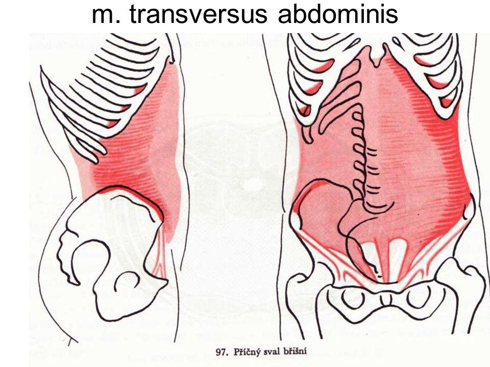 m. transversus abdominis