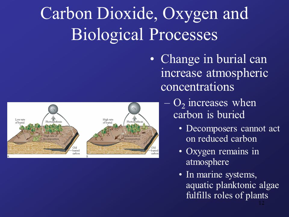 12 Carbon Dioxide, Oxygen and Biological Processes Change in burial can increase atmospheric concentrations –O 2 increases when carbon is buried Decomposers cannot act on reduced carbon Oxygen remains in atmosphere In marine systems, aquatic planktonic algae fulfills roles of plants