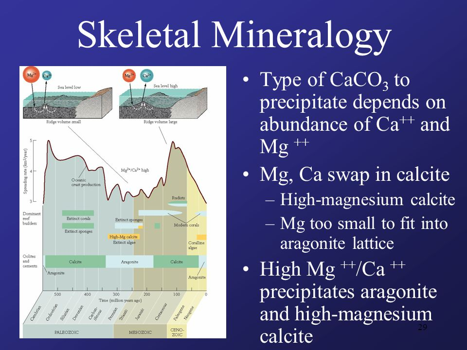 29 Skeletal Mineralogy Type of CaCO 3 to precipitate depends on abundance of Ca ++ and Mg ++ Mg, Ca swap in calcite –High-magnesium calcite –Mg too small to fit into aragonite lattice High Mg ++ /Ca ++ precipitates aragonite and high-magnesium calcite