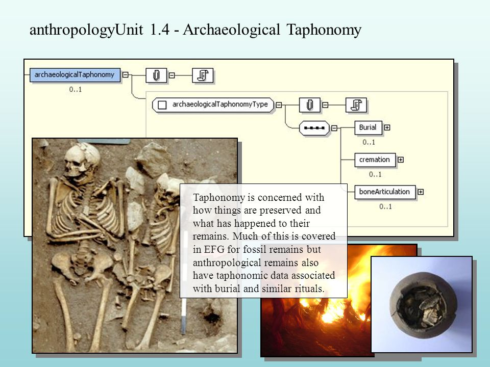 anthropologyUnit 1.4 - Archaeological Taphonomy Taphonomy is concerned with how things are preserved and what has happened to their remains.