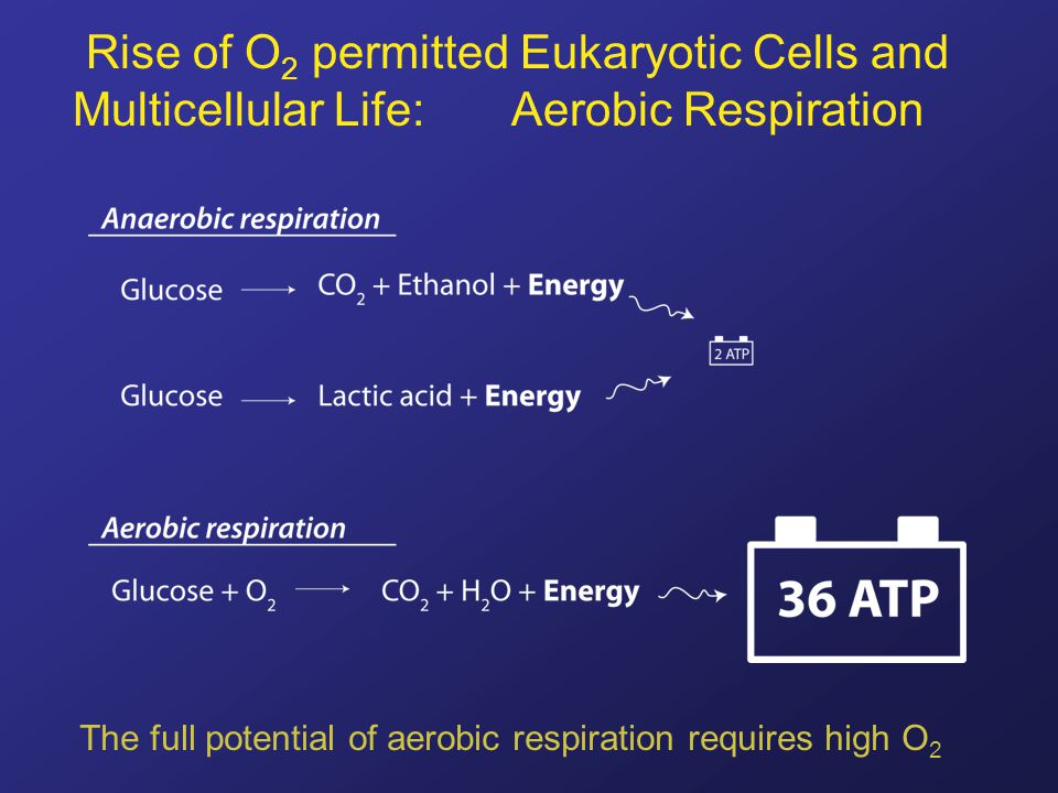 Rise of O 2 permitted Eukaryotic Cells and Multicellular Life: Aerobic Respiration The full potential of aerobic respiration requires high O 2