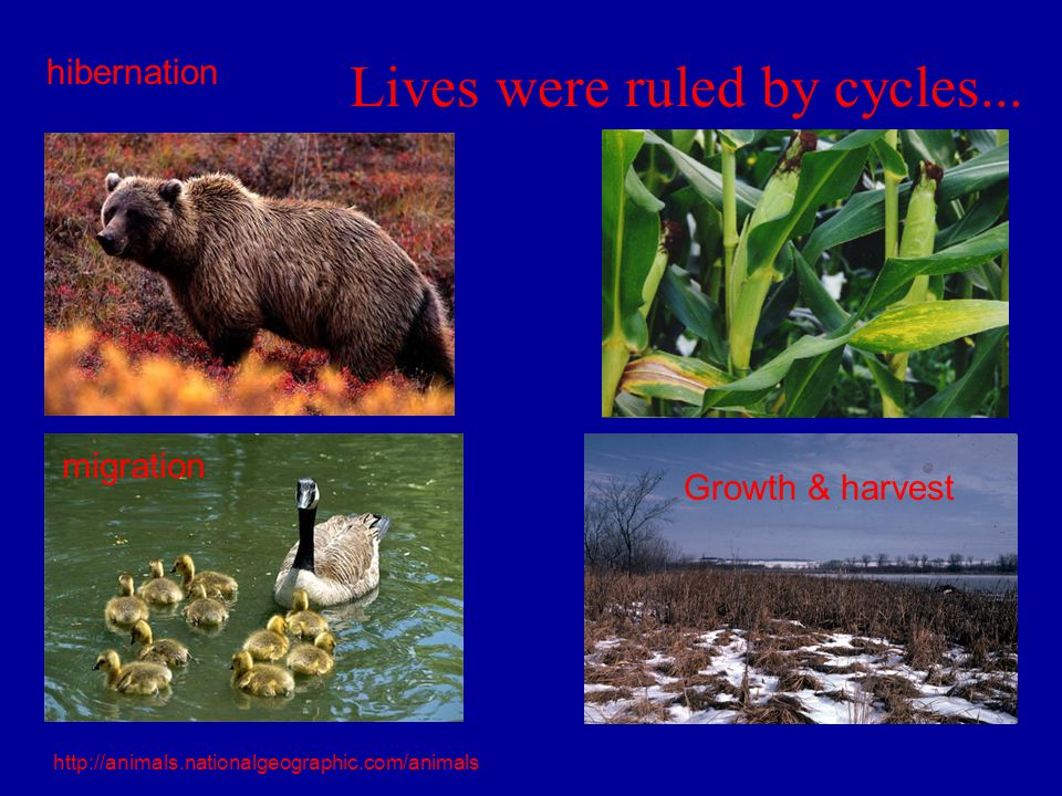 Lives were ruled by cycles... hibernation Growth & harvest migration http://animals.nationalgeographic.com/animals