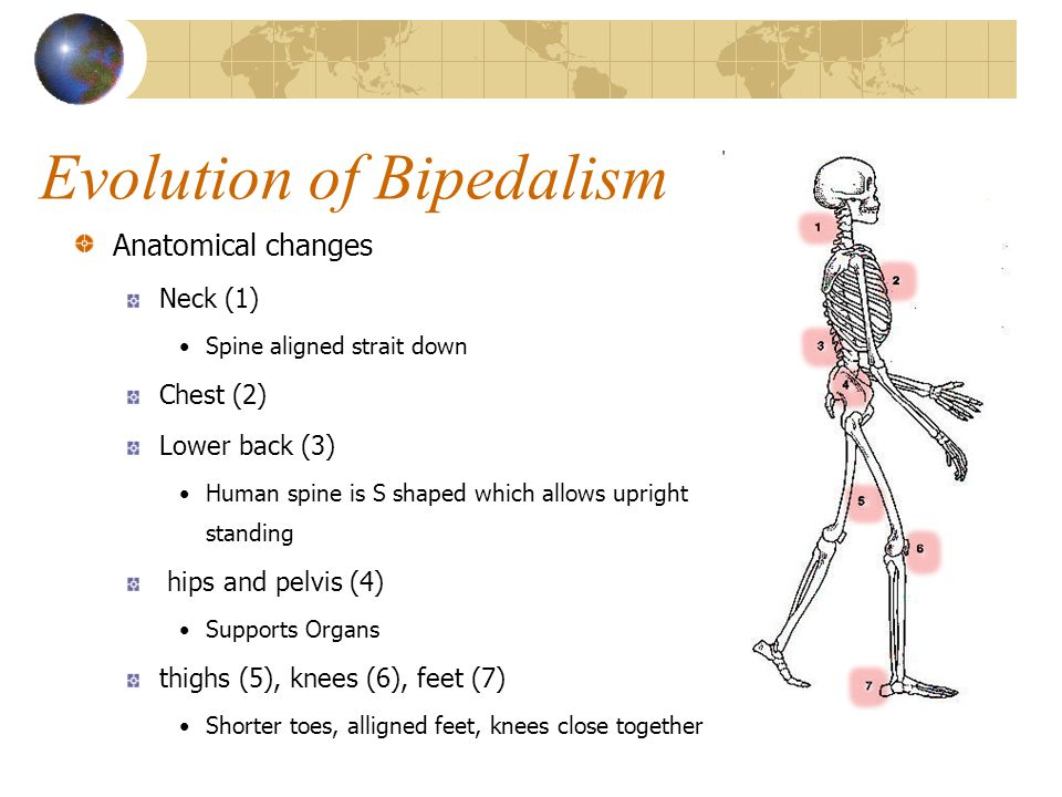 Pre-hominid Evolution Reconstruction of Australopithecine Ardipithecus ramidus 4.4 - .