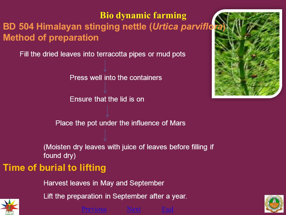 Bio dynamic farming PreviousNext End BD 504 Himalayan stinging nettle (Urtica parviflora) Method of preparation Fill the dried leaves into terracotta pipes or mud pots Press well into the containers Ensure that the lid is on Place the pot under the influence of Mars (Moisten dry leaves with juice of leaves before filling if found dry) Time of burial to lifting Harvest leaves in May and September Lift the preparation in September after a year.
