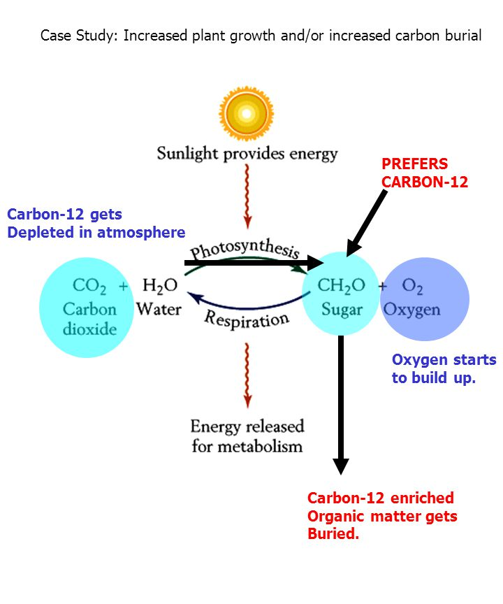 PREFERS CARBON-12 Carbon-12 enriched Organic matter gets Buried. Carbon-12 gets Depleted in atmosphere Case Study: Increased plant growth and/or incre