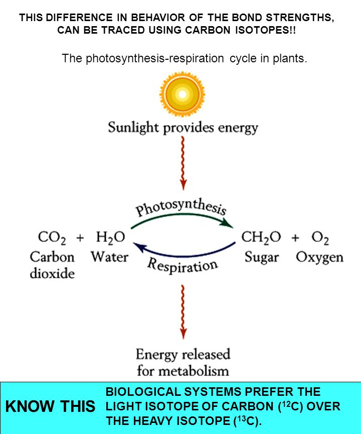 The photosynthesis-respiration cycle in plants.