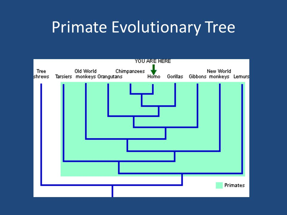 Primate Evolutionary Tree