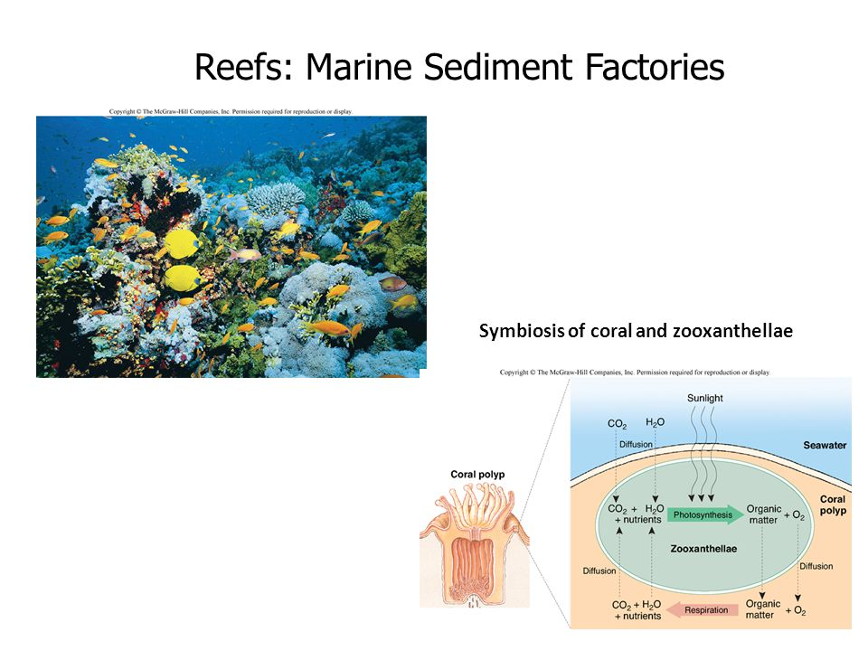 Reefs: Marine Sediment Factories Symbiosis of coral and zooxanthellae