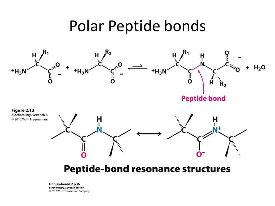 Polar Peptide bonds