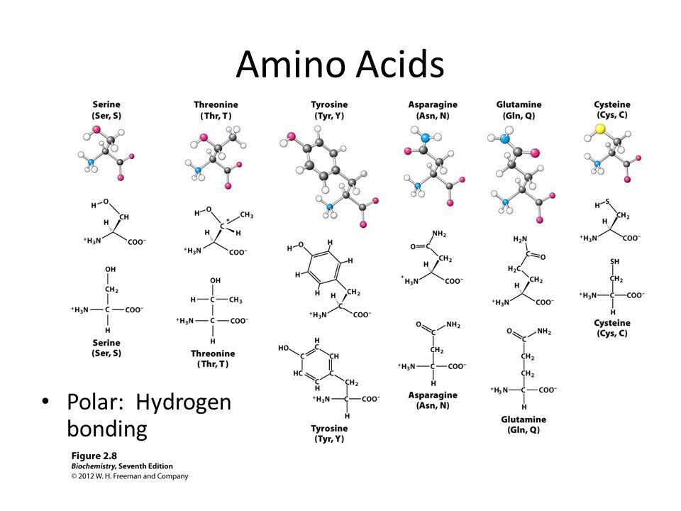 Amino Acids Polar: Hydrogen bonding