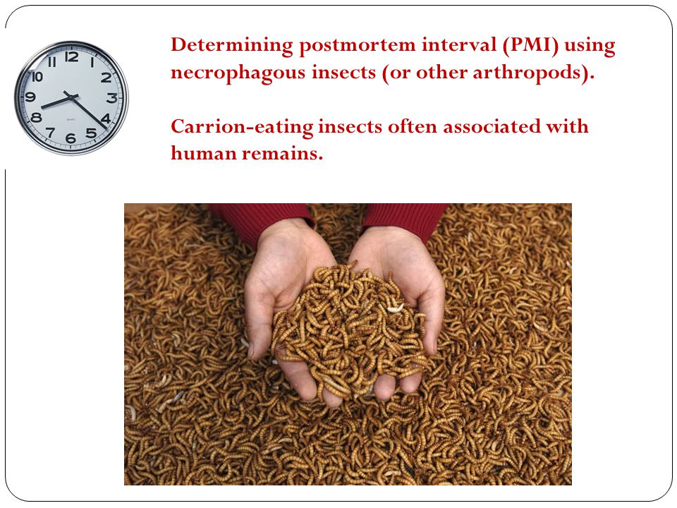 Determining postmortem interval (PMI) using necrophagous insects (or other arthropods). Carrion-eating insects often associated with human remains.