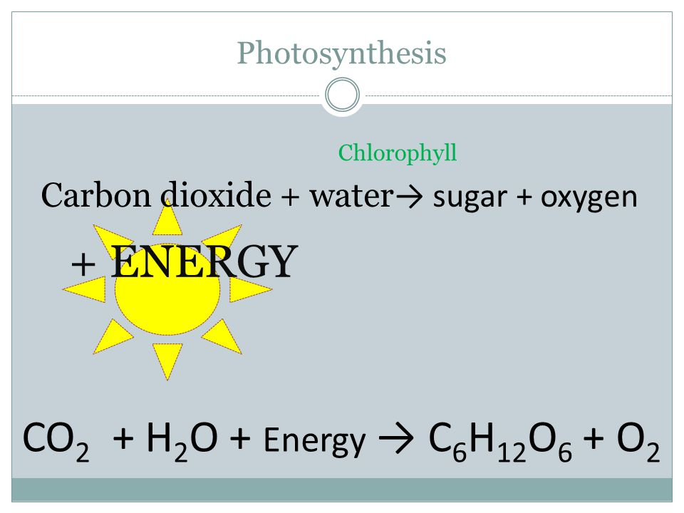 Photosynthesis Carbon dioxide + water → sugar + oxygen + ENERGY Chlorophyll CO 2 + H 2 O + Energy → C 6 H 12 O 6 + O 2