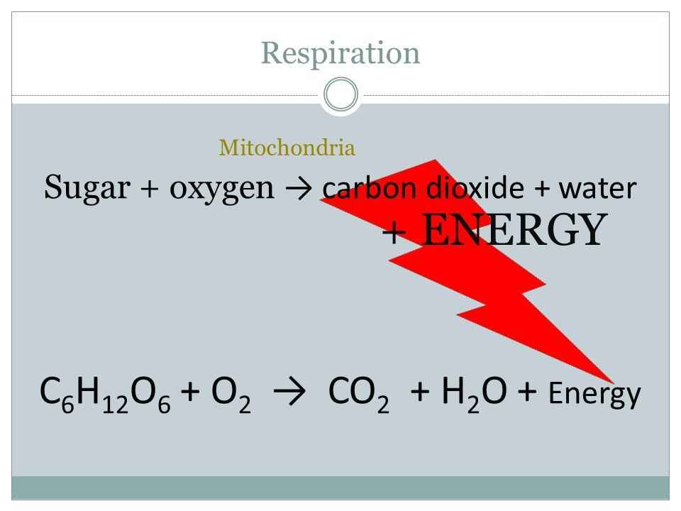 Respiration + ENERGY Sugar + oxygen → carbon dioxide + water C 6 H 12 O 6 + O 2 → CO 2 + H 2 O + Energy Mitochondria