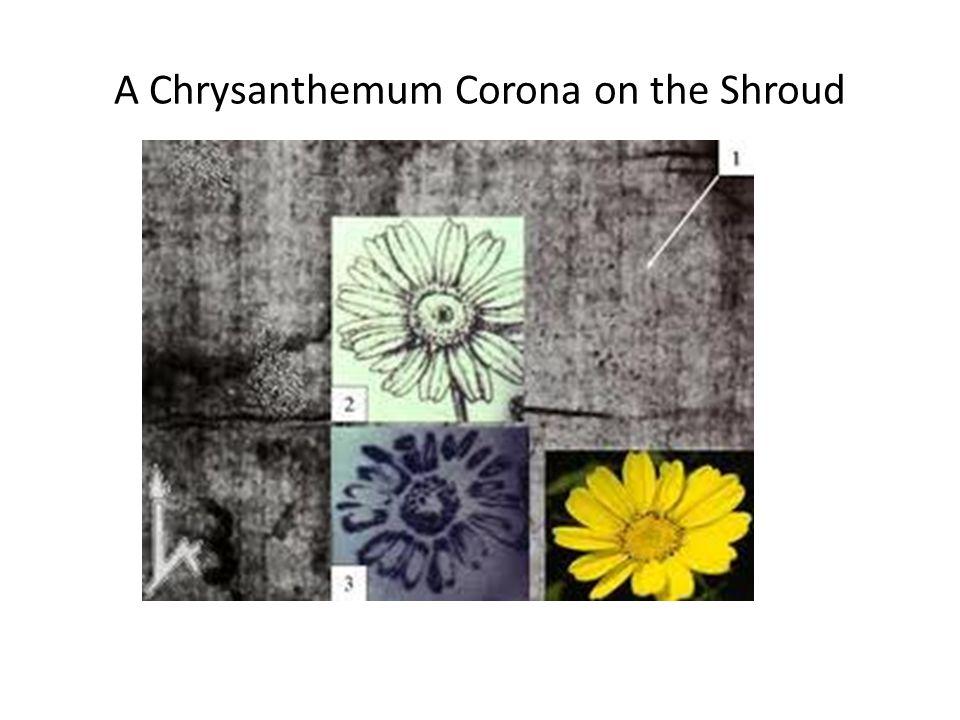 A Chrysanthemum Corona on the Shroud