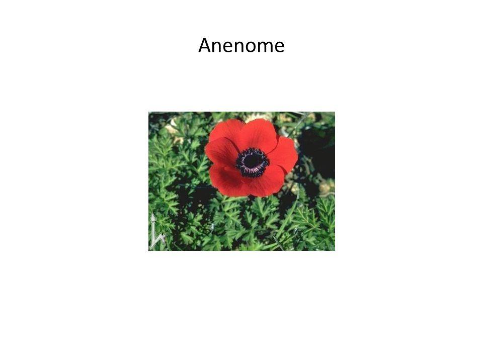 Anenome